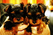 Affectionate Val's day yorkie puppies for free adoption